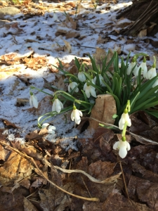Beautiful snowdrops and a dusting of fresh snow.